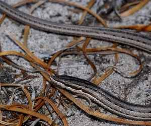 The <strong>Burton's legless lizard</strong> is the most widespread reptile in Australia, found in all states except Tasmania. This species occupies rather dry habitats such as deserts, shrublands, forests, heathlands and grasslands.<br><br>Although they can be mistaken for snakes, Burton's legless lizards are actually distinguished from the latter by the presence of ear openings, a fleshy tongue instead of a forked tongue, the inability to constrict prey and the lack of venom glands.<br><br>The diet consists of other lizards (skinks and geckos mainly) and small snakes on rare occasions.<br><br>Reproduction takes place from spring to summer and females lay an average of 2 eggs under logs, rocks or leaf litter from November to January.<br><br>The Burton's Legless Lizard is not yet classified on the IUCN Red List and it is not currently facing any considerable threats.