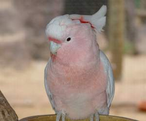 The <strong>Major Mitchell's Cockatoo</strong> (also called <strong>Leadbeater's cockatoo</strong> is a species of parrot found in arid and semi-arid inland areas of Australia inhabiting dry woodlands, particularly mallee. They have an elegant pink and white plumage with a bright red and yellow crest and grow up to 35cm. Both sexes are very similar, males are usually bigger with brown eyes and females have a larger yellow stripe on the crest and red eyes.<br><br>Diet consists of seeds of grasses and plants, fruit, roots and insects.<br><br>Females lay up to 3 eggs in tree hollows and both parents will raise and defend the chicks after about 23 days of incubation.<br><br>The Major Mitchell's Cockatoo is classified as <strong>Least Concern</strong> on the IUCN Red List but populations are declining due to land clearing for crops and poaching for the captive bird trade.