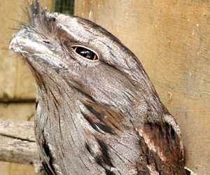 The <strong>Tawny Frogmouth</strong> is a species of large nocturnal bird native to Australia mainland and Tasmania, found in all habitats except treeless deserts. They are mostly silver-grey with yellow eyes and can grow up to 50cm. Often mistaken for owls, they are in fact closely related to nightjars.<br><br>Being nocturnal, tawnies feed on insects, spiders, snails as well as small mammals, reptiles, frogs and other birds. Unlike owls, they prefer to catch preys with their beak or pounce them to the ground from an elevated perch.<br><br>Mating occurs between August and December and females lay up to 3 eggs in loose nests made of sticks. Both parents incubate the eggs and supply food to the youngs.<br><br>The Tawny Frogmouth is classified as <strong>Least Concern</strong> on the IUCN Red List but some populations are facing numerous threats such as habitat destruction, attacks by dogs, feral cats and foxes and being hit by car during night time.