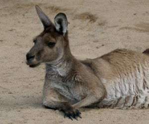 The <strong>Western Grey  Kangaroo</strong> is a large marsupial found across the southern part of Australia. The species occupies forests and grasslands from south-west to south-east. The kangaroo measures up to over 1m with males being twice the size of females. Their thick fur is usually pale grey or brown and their muzzle is finely haired.<br><br>Western grey kangaroos are herbivores and graze exclusively on grass and shrubs. They are more active at night.<br><br>During breeding season, males will compete for females and fight for dominance in the group. Only one young is born at a time and it will stay in the mother's pouch for 6 to 8 months before become fully independent at 12 months.<br><br>The Western Grey Kangaroo is classified as <strong>Least Concern</strong> on the IUCN Red List but it is currently facing threats such as being hunted or being hit by vehicles while attempting to cross the road.